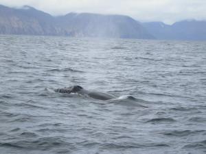 17-Whale Watching a Husavik (9)